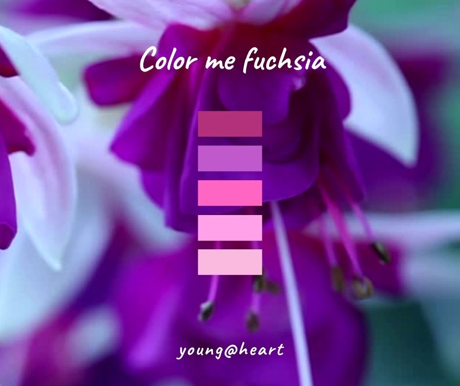 Llila, violett, rosa, pink